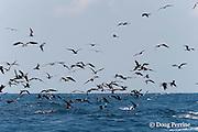 frigate birds, Fregata sp., and Atlantic sailfish, Istiophorus albicans, attacking bait ball of Spanish sardines (aka gilt sardine, pilchard, or round sardinella ), Sardinella aurita, off Yucatan Peninsula, Mexico ( Caribbean Sea )
