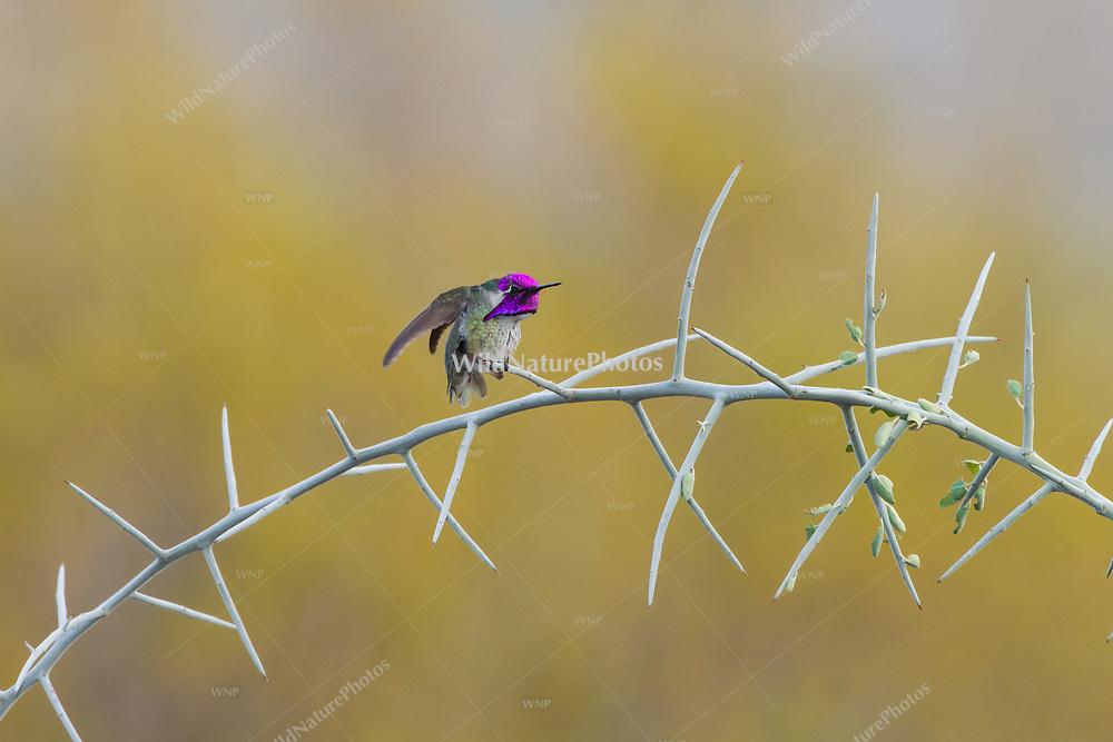 Male Costa's Hummingbird (Calypte costae) perched on graythorn (Ziziphus obtusifolia), Tucson
