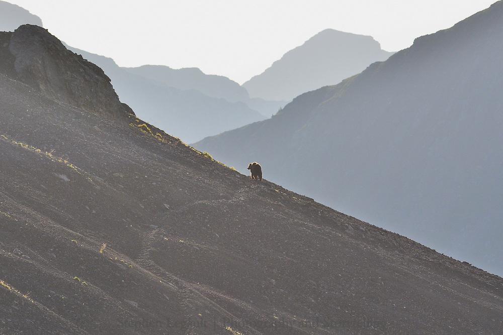 Grizzly Bear, Rae Creek Hills, Elbow Sheep Wildland Park