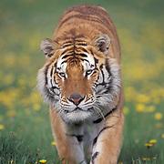 Tiger, (Panthera tigris) Adult. Summer.Captive Animal.