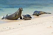 Hawaiian monk seals, Neomonachus schauinslandi ( Critically Endangered endemic species ), aggressive male attacks a five and a half week old pup; mother (right) approaches to intervene; Papaloa Beach, Kalaupapa, Molokai, Hawaii, USA