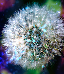 A Puffy White Dandelion With A Bit Of Magic and Mystery.<br />