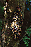 Honey bee hive on a tree in Subterranean River National Park..Palawan Island, Philippines.  Oct 01.