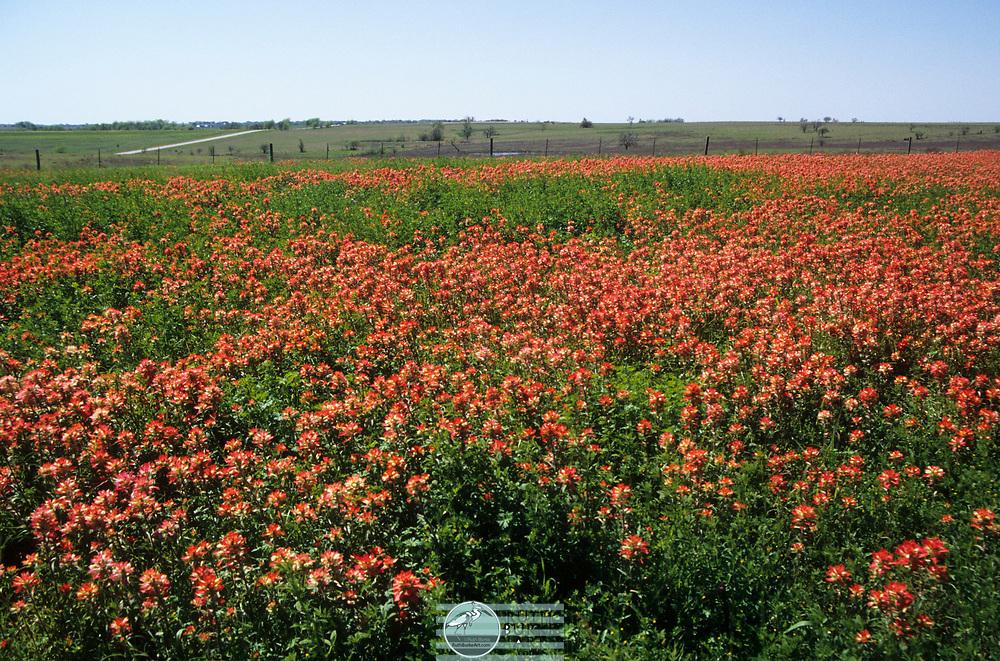 Wild flowers in Texas, USA
