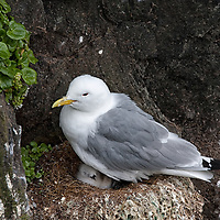 Another adult Kittiwake taking care of a chick at the Látrabjarg birdcliffs.