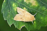 The Sallow - Xanthia icteritia