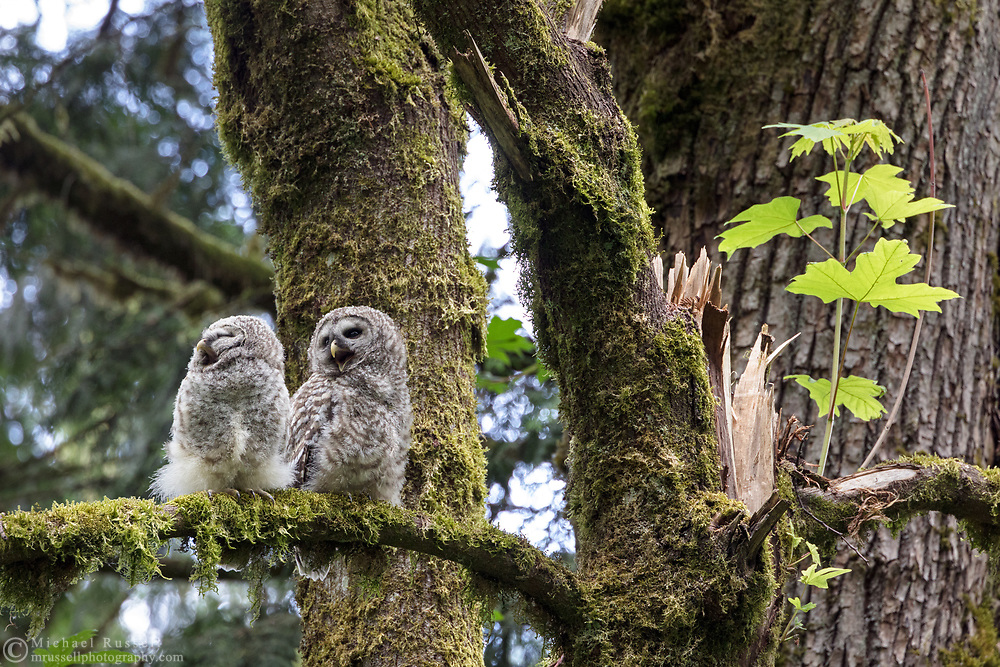 Barred Owl (Strix varia) fledglings in the midst of begging calls while perched in a Bigleaf Maple (Acer macrophyllum) tree. Barred Owl owlets can be fed by parents for months after leaving the nest while they learn to hunt for themselves. An adult was heard hooting nearby but did not visit the owlets while I was there.  Photographed at Campbell Valley Park in Langley, British Columbia, Canada.