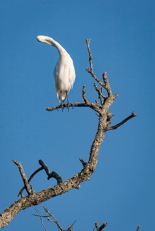 A white egret preens atop a dead tree along the May River near Bluffton, SC.