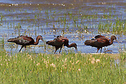 Three white-faced ibis (Plegadis chihi) feed at the edge of a pond in the Malheur National Wildlife Refuge in southeastern Oregon. Ibises forage in groups by walking slowly with their heads down, probing the mud with their long, curved bills.
