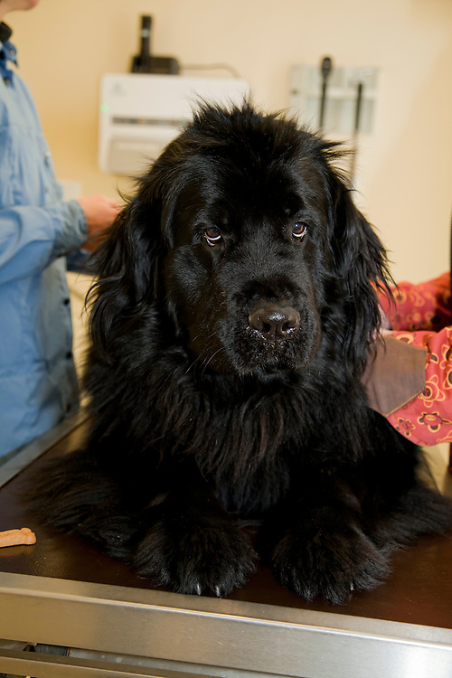 Newfoundlander (Cannis Familiaris) dog on veterinarian table at a clinic. Looking in the camera. France