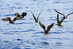 Black, Hawaiian or White-capped Noddies, or Noio in Hawaiian, Anous minutus melanogenys, hunting, endemic to Hawaii, off Kona Coast, Big Island, Hawaii, Pacific Ocean.