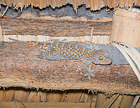 Tokay gecko, Gekko gecko, hunting for insects on the ceiling of a bamboo shelter on Atauro Island, Timor-Leste (East Timor)