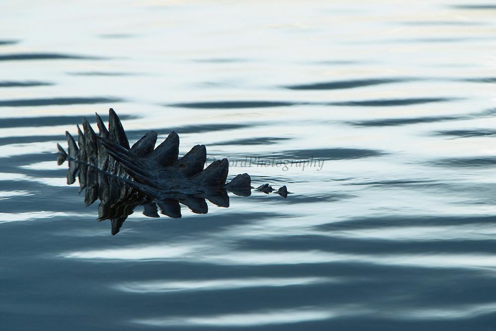 American Crocodile tail (Crocodylus acutus)<br /> San Pedro<br /> Ambergris Caye<br /> Belize<br /> Central America<br /> RANGE: Americas