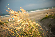Sea oats along the beach on Isle of Palms, SC.