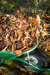 Wheelbarrow of leaves gathered together ready to make leaf mould