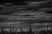 Saguaro Cacti Arizona USA