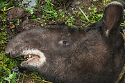 Mountain or Woolly Tapir capture (Tapirus pinchaque)<br /> Cayambe Coca Ecological Reserve<br /> Andes<br /> ECUADOR, South America<br /> Range: Ecuador, Colombia, Peru<br /> ENDANGERED<br /> Caught by researchers