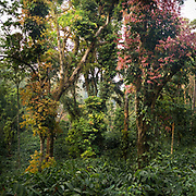 Lush coffee plantation and African Tulip tree in the hills near Coorg.