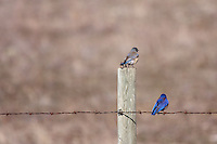 Sometimes you make the image you plan to make.  Sometimes you get the butt.....A pair of Western Bluebirds perching on a barbed wire fence...©2009, Sean Phillips.http://www.Sean-Phillips.com