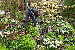 Carol Klein working in a spring border at Glebe Cottage including Narcissus 'Silver Chimes', Lamium orvala, Cornus controversa 'Variegata', and Tulipa 'Jan Reus' grown in terracotta pots.