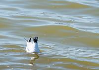 Bonaparte's Gull, Larus philadelphia, swimming at Tule Lake National Wildlife Refuge, Oregon