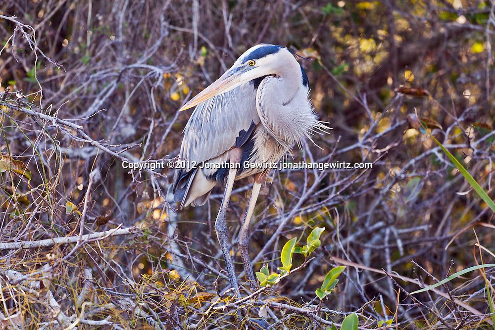 A Great Blue Heron (Ardea herodias) in vegetation next to a canal in the Shark Valley section of Everglades National Park, Florida. WATERMARKS WILL NOT APPEAR ON PRINTS OR LICENSED IMAGES.
