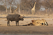 Lions (Panthera leo) feeding on a sable carcass they have just caught at a waterhole. A buffalo bull who has little fear of the lions is approaching to show his dislike at having the pride at the waterhole.<br /> Makalolo Plains. Hwange National Park. ZIMBABWE. Southern Africa<br /> HABITAT: Found in most habitats and healthy populations exist in the National Parks and protected areas.  Generally though their numbers are in decline due to human pressure.
