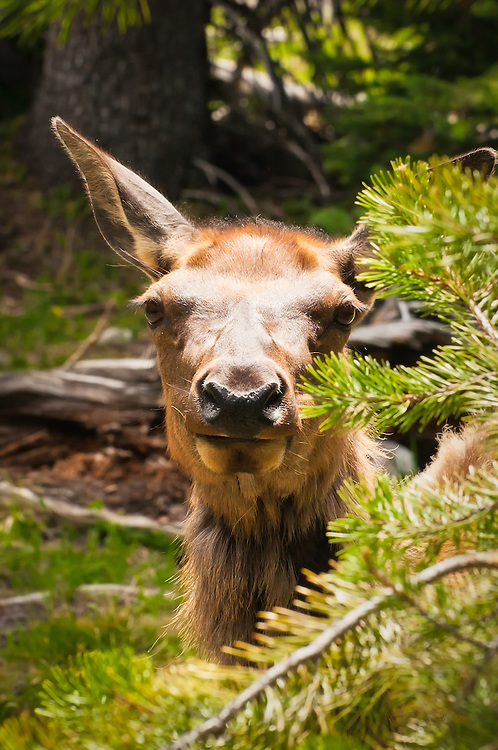 An elk calf stares down a surprised photographer in Yellowstone National Park in northwestern Wyoming.