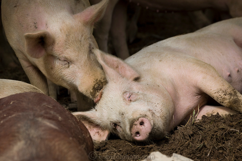 Pigs lie in a sty at Joel Salatin's farm in Virginia's Shenandoah Valley. (Joel Salatin is featured in the book What I Eat: Around the World in 80 Diets.)