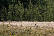Photo Randy Vanderveen<br /> Grande Prairie, Alberta<br /> 2020-09-03<br /> A  coyote warily keeps an eye out as it uses tall grass as cover while crossing a pasture near Kleskun Hills Thursday afternoon.