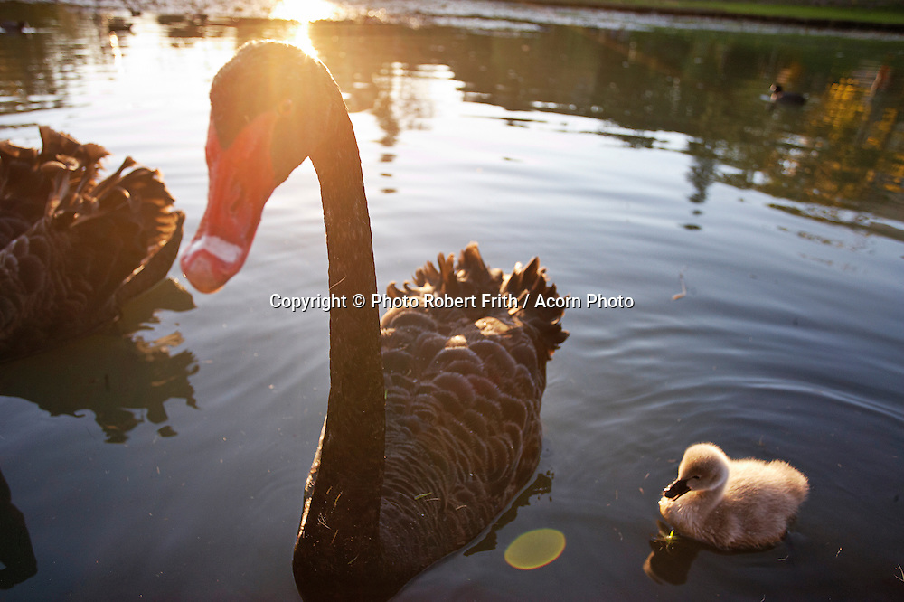 Swan and cygnet at Queens Park