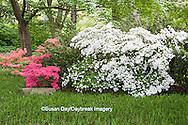 65021-03608 Azaleas in Japanese Garden in spring, MO Botanical Gardens, St Louis, MO