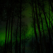 Northern Lights (Aurora Borealis) dance vividly behind an Aspen forest near Anchorage, Alaska. Winter.