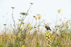 Scissor-tailed flycatcher on Arkansas yucca (Yucca arkansana) in wildflower field, Blackland Prairie remnant, White Rock Lake, Dallas,Texas, USA