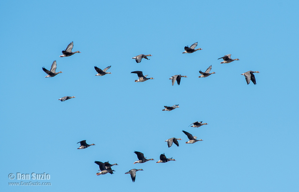 Greater White-fronted Geese, Anser albifrons, fly over Sacramento National Wildlife Refuge, California