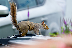 A Grey Squirrel (Scientific name Sciurus Carolinensison) leaps onto a wheelie bin as he moves on to the next gardenfollowing  a brief visit to a small Sheffield suburban  garden.<br /> <br />  Copyright Paul David Drabble<br /> 20 June 2019<br />  www.pauldaviddrabble.co.uk