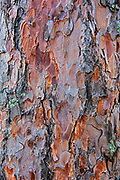 Bark of red pine trees (Pinus resinosa)<br /> Sioux Narrows Provincial Park<br />
