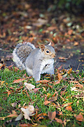 Foraging Squirrel