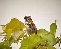 Song Sparrow. Image taken with a Nikon D2xs camera and 200 mm f/2 VR lens with a 1.4x TCE-II teleconverter.