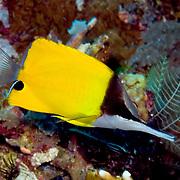 Longnose Butterflyfish inhabit reefs. Picture taken Mary Island, Solomon Islands.