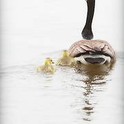 Canada goose swimming with two young goslings on Clear Fork reservoir, central Ohio.