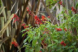 Salvia splendens 'Van Houttei'  against the foliage of Phormium 'Dusky Chief'