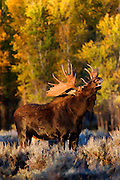 Artistic watercolor style effects applied to an evening scene of a large bull moose in Grand Teton National Park.