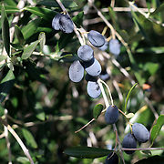 SAN GIMIGNANO, ITALY - OCTOBER 25: Olives growing in Tuscany, Italy near the Italian hill town of San Gimignano. San Gimignano, Tuscany, Italy. 25th October 2017. Photo by Tim Clayton/Corbis via Getty Images)