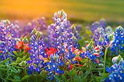 Bluebonnet close-up, Hill Country wildflowers, Fredericksburg, Texas