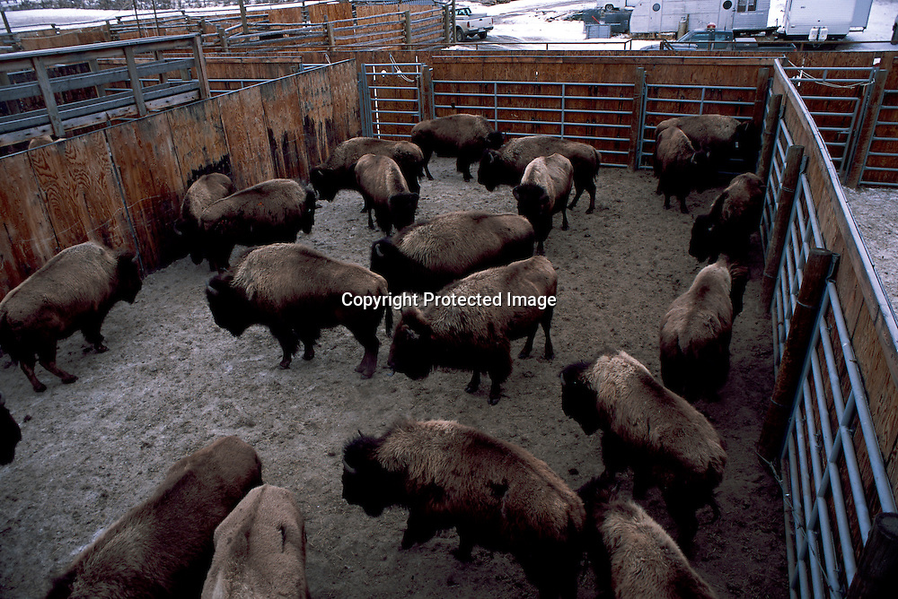 BisonIssues24-Wild bison in the Stevens Creek capture facility in Yellowstone National Park await shipment to slaughter on 03/05/03.  231 bison were captured and sent to salughter during the first week of March 2003 as part of a brucellosis erradication program forced on the park by the states of Montana.
