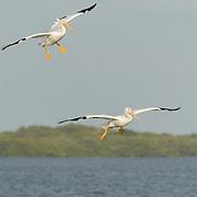 American White Pelican (Pelecanus erythrorhynchos) flock in the water near Boca Grande, Florida.