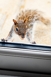 A Grey Squirrel (Scientific name Sciurus Carolinensison) peeks in through the French doors of a house  during a brief visit to a small Sheffield suburban garden.<br /> <br /> 25th September 2021<br /> <br /> www.pauldaviddrabble.co.uk<br /> All Images Copyright Paul David Drabble -<br /> All rights Reserved -<br /> Moral Rights Asserted -
