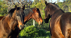 Fisher Haven. 290720. Free roaming, feral horses in Fisher Haven using this area as their grazing grounds. Picture: Ian Landsberg