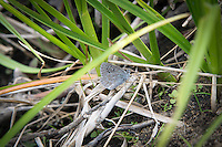 Hindwing (underwing) view of a Boisduval's blue (Icaricia icarioides), a small member of the brushfoot butterfly family collecting moisture from the edge of a creek in Kittitas County, Washington.